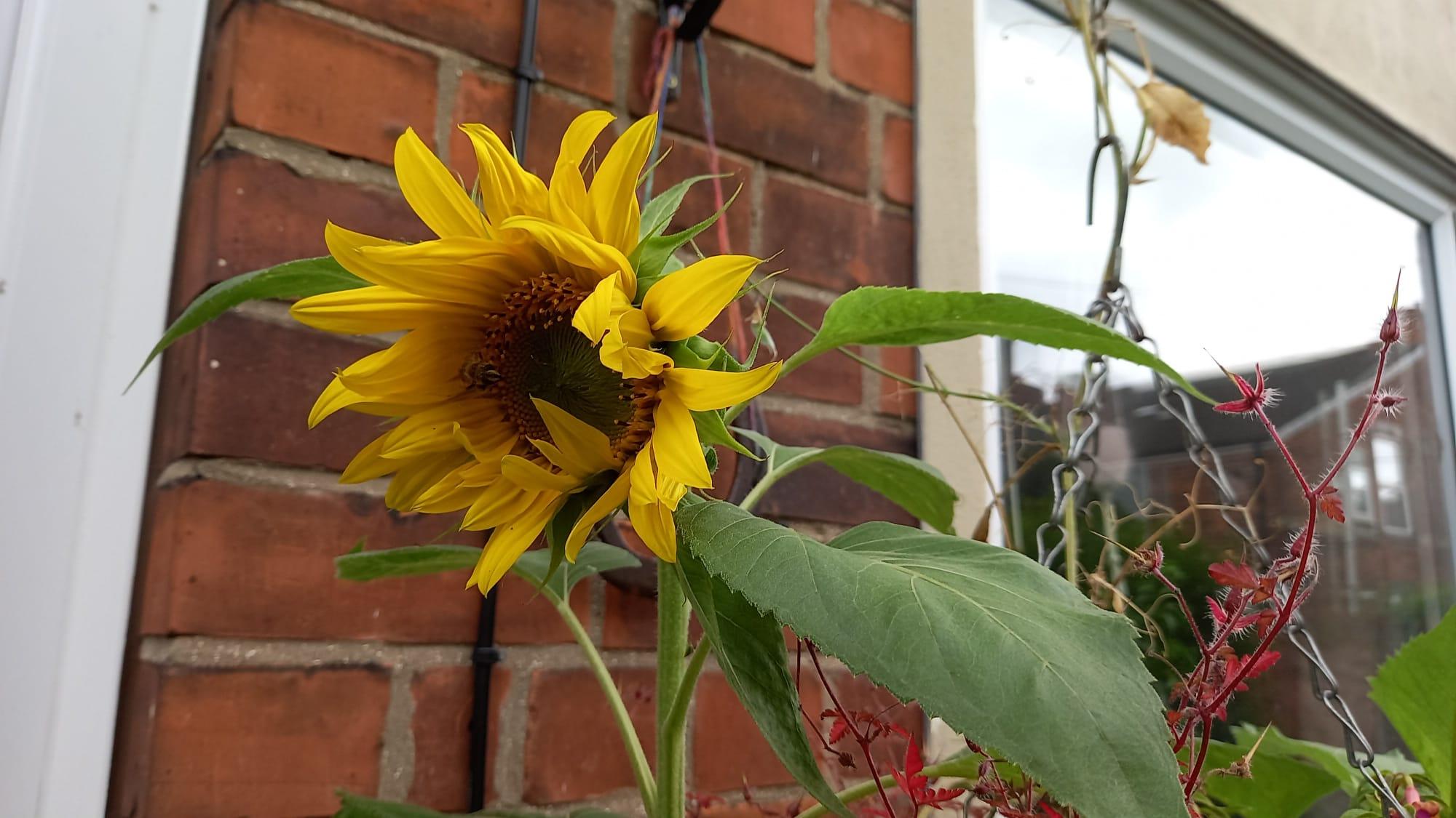 photo of an emerging sunflower